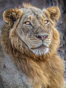 Portrait of a Zambian Lion