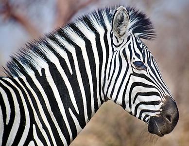 9 Striped Horse