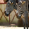 Pair of Zebras<br><br>Photographers Name : Vickie LeBlanc<br><br>Photographers Location : Union, MO<br><br>To vote in favor for this photo, simply add a comment below. You can also share this photo on Facebook and Twitter using the buttons above.