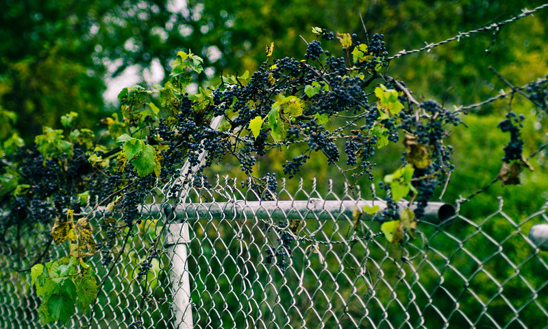 Barbed Wire and Berries<br><br>Photographers Name : Jason Hite<br><br>Photographers Location : Grand Rapids, MI<br><br>To vote in favor for this photo, simply add a comment below. You can also share this photo on Facebook and Twitter using the buttons above.