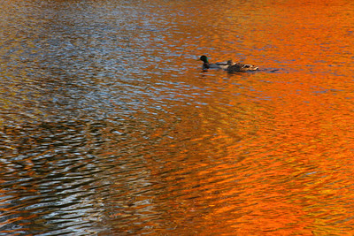A male and female Mallard Duck take a swim along the banks of the Presumpscot River.Photographers Name : David MurphyPhotographers Location : Old Orchard Beach, METo vote in favor for this photo, simply add a comment below. You can also share this photo on Facebook and Twitter using the buttons above.