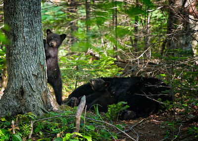 On watch while momma naps.Photographers Name : Jeff SinonPhotographers Location : Farmington, NHTo vote in favor for this photo, simply add a comment below. You can also share this photo on Facebook and Twitter using the buttons above.
