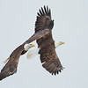 Bald Eagles Soaring<br><br>Photographers Name : Josh Clark<br><br>Photographers Location : Freedom, OH<br><br>To vote in favor for this photo, simply add a comment below. You can also share this photo on Facebook and Twitter using the buttons above.