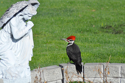 Pileated woodpecker curious about our angel!Photographers Name : KATHLEEN DURANTPhotographers Location : Smiths Falls, CanadaTo vote in favor for this photo, simply add a comment below. You can also share this photo on Facebook and Twitter using the buttons above.