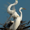 Enter Photo 2 Caption:  Male Egret Display to Impress His Chosen Female<br><br>Photographers Name : Scott Meyer<br><br>Photographers Location : Kingwood, TX<br><br>To vote in favor for this photo, simply add a comment below. You can also share this photo on Facebook and Twitter using the buttons above.