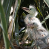 Baby Snowy Egrets<br><br>Photographers Name : Josh Clark<br><br>Photographers Location : Freedom, OH<br><br>To vote in favor for this photo, simply add a comment below. You can also share this photo on Facebook and Twitter using the buttons above.
