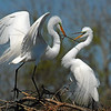 Enter Photo 1 Caption:  Great Egret Courtship Offering, a Mating Season Ritual<br><br>Photographers Name : Scott Meyer<br><br>Photographers Location : Kingwood, TX<br><br>To vote in favor for this photo, simply add a comment below. You can also share this photo on Facebook and Twitter using the buttons above.