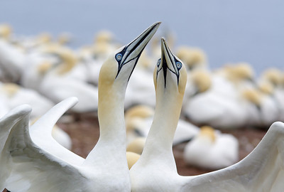 Northern Gannet pairPhotographers Name : Evelyn GarciaPhotographers Location : Miami, FLTo vote in favor for this photo, simply add a comment below. You can also share this photo on Facebook and Twitter using the buttons above.