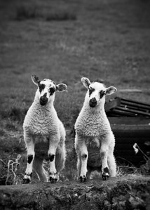 Two Little LambsPhotographers Name : Kerry EllisPhotographers Location : Alexandria, VATo vote in favor for this photo, simply add a comment below. You can also share this photo on Facebook and Twitter using the buttons above.