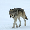 A UNAVCO Staff Choice<br /> Entry: 020-Mencin<br /> <br /> Wolf encounter during winter maintenance in Yellowstone<br /> Photo: Dave Mencin