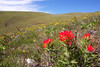 1) Subject: Paintbrush<br /> 2) Where it was taken: Columbia Hills Natural Area Preserve<br /> 3) Basic area/region: WA side of Columbia River, near The Dalles<br /> 4) Season taken: Spring