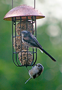 Christine Long Tailed Tits