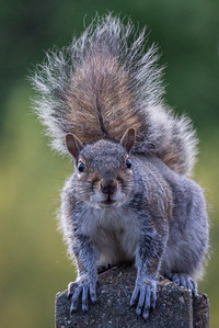 Gerry_Squirrel on the Post-0165