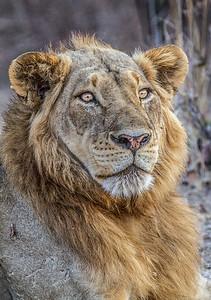 annie nash protrait of a zambian lion