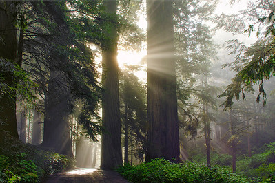 Sun and Fog in the Redwoods (HM Travel Print, N4C Feb 2013; Honorable Mention, Best of N4C 2013)