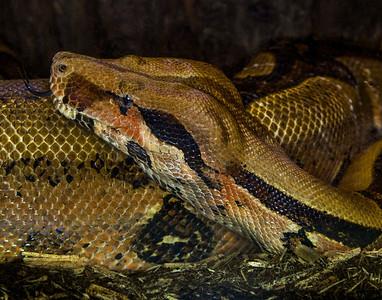 5. Giant Python