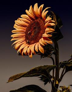 8 Sunflower At Sunset