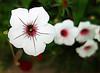 White Flower 615