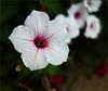 White Flower 633