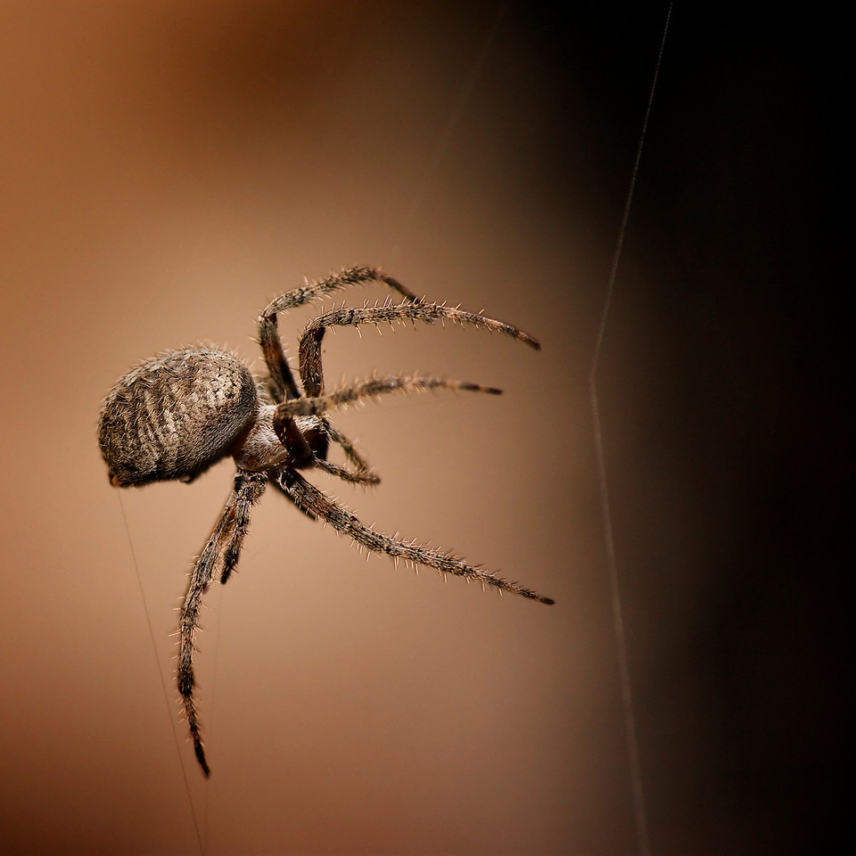 "Arachnophobia<br /> By John Gasca<br /> <br />  Arachnophobia (from the Greek:  aráchnē, ""spider"" and<br /> phóbos, ""fear"") is a specific phobia, the irrational fear of spiders<br /> and other arachnids. An arachnid is any wingless, carnivorous<br /> arthropod of the class Arachnida, including spiders, scorpions, mites,<br /> ticks, and daddy-longlegs, having a body divided into two parts, the<br /> cephalothorax and the abdomen, and having eight appendages and no<br /> antennae."