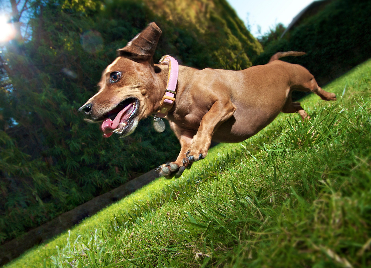 """Wendy the Wonder Wiener Dog<br /> By John Gasca<br /> <br /> Note: <br /> Anyone that has ever tried to take an action shot of a pet must know<br /> how challenging it can be. Wendy is a very short... and VERY fast<br /> wiener dog. Here she is having fun with 3 paws off the ground in full<br /> gallop. (You really don't want to know how many shots it took to get<br /> this one) Thanks to my friend Mike and his dog Wendy for letting me<br /> take some shots of her in action for """"Down Low"""". No animals were<br /> harmed in the making of this image."""