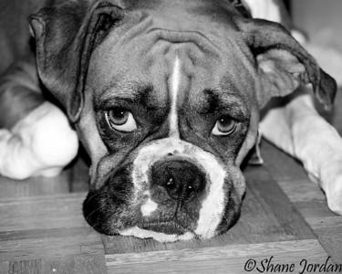 8. 'Boxer pup', by sjordan. 8/12/07, Olympus E-510.