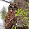 Barred Owl @ Santee National Wildlife Refuge, South Carolina - March 2009