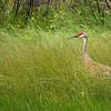 Sandhill Crane @ Seney National Wildlife Refuge, Michigan - Aug 2009