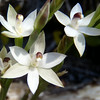 NFF-TTC-Lynne Pomare Eastbourne orchid