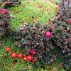 NFF-TTC-Trish Gardiner-Smith-Coprosma berries, Mt Brown