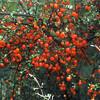 NFF-TTC-Pete Smith-Orange coprosma berries Mataukituki valley