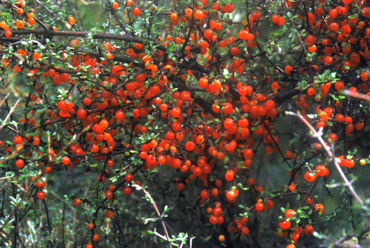 NFF-TTC-Pete Smith-Orange coprosma berries Mataukituki valley