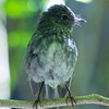 A North Island robin seen on Kapiti Island