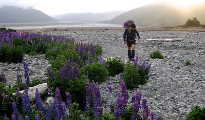 Lupin Invasion (Below Bushline) Daniel Rogerson tramping in the Waimakariri valley with Klondyke Corner in the background