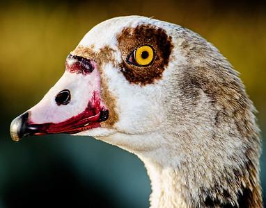 2. Egyptian Goose
