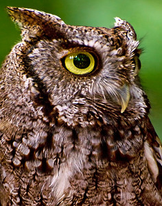 8. Screech Owl