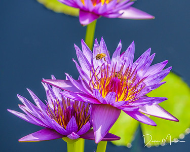 Bees on the Water Lilies, Denver Botanic Garden