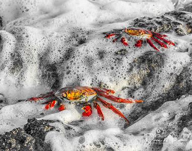 Sally Lightfoot Crabs, Galapagos Islands
