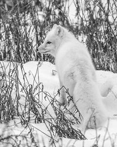 Arctic Fox (B&W), SE of Churchill, Manitoba, Canada