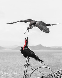 Magnificent Frigate Birds Arguing, Galapagos Islands