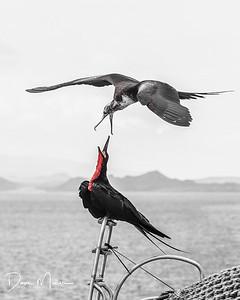 Magnificent Frigate Birds Arguing, Galapagos Islands