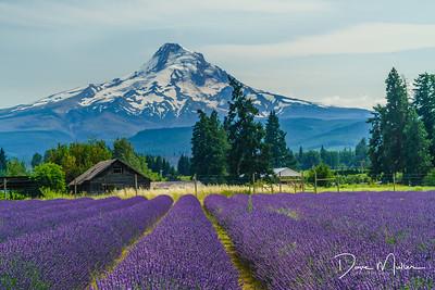 Mt Hood from Lavender Valley, Oregon