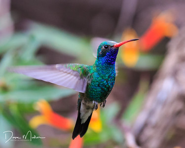 Hummingbird, Sonoran Desert, Arizona