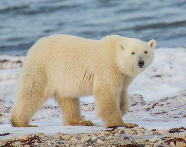King of the Arctic, SE of Churchill, Manitoba, Canada