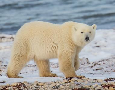 King of the Arctic, SE of Churchill, Manitoba, Canada
