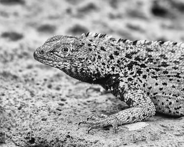 Lava Lizard, Galapagos Islands