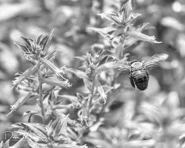 Making a Beeline for the Bloom (B&W)