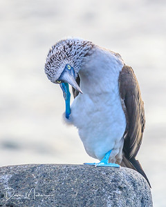 "Blue-footed Booby, Galapagos... ""I'll call you later Mom, gotta run."""