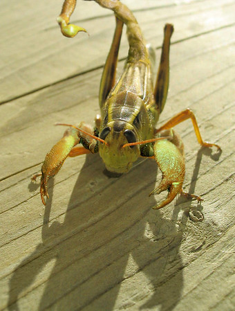 Contest Name: Grasshopper<br /> <br /> Take 1 grasshopper, mix in 1 scorpion and you have this.