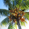 Coconuts, Samoa. Credit: New Zealand Ministry of Foreign Affairs and Trade